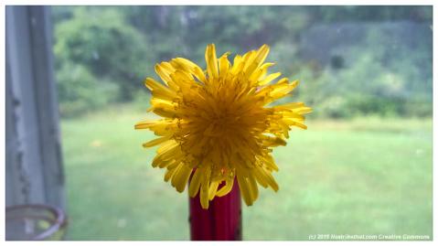 dandelion-macro